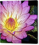 Pink And Yellow Waterlily Canvas Print