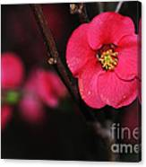 Pink Blossom In The Evening Canvas Print