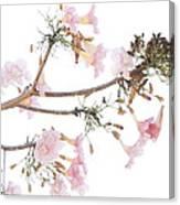 Pink Blossoms In Panama Canvas Print