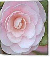 Pink Camellia Flower In Spring Canvas Print