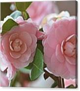 Pink Camellia Flowers Canvas Print