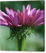 Pink Cone Flower Canvas Print