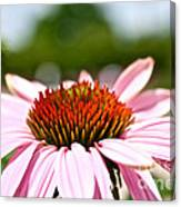 Pink Cone Flower Canvas Print