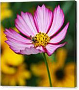Pink Cosmos Picotee And Bee Canvas Print