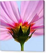 Pink Cosmos Canvas Print