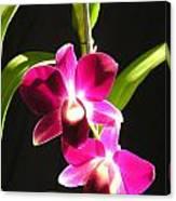 Pink Dendrobiums Canvas Print