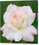 Pink Edge White Rose Canvas Print