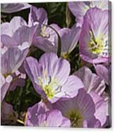 Pink Evening Primrose Wildflowers Canvas Print