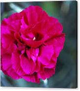 Pink Flower (dianthus 'carlotta') Canvas Print