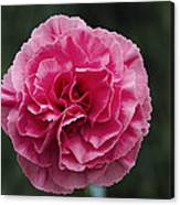 Pink Flower (dianthus 'clare') Canvas Print