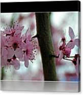 Pink Flowering Tree In Spring Framed Canvas Print