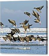Pink-footed Geese On An Ice Floe Canvas Print