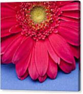 Pink Gerbera Daisy On Blue Background Canvas Print