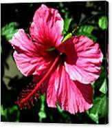 Pink Hibiscus2 Canvas Print