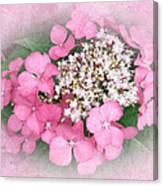 Pink Lace Cap Hydrangea Flowers Canvas Print
