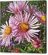 Pink New York Aster- Symphyotrichum Novi-belgii Canvas Print
