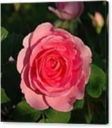Pink Old English Rose Canvas Print
