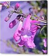 pink Penstemon  Canvas Print