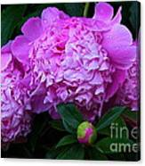 Pink Peonies In The Rain Canvas Print