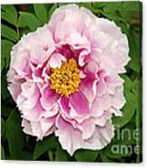 Pink Peony Flowers Series 1 Canvas Print