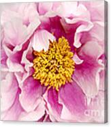 Pink Peony Flowers Series 3 Canvas Print