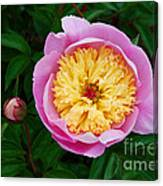 Pink Peony Flowers Series 4 Canvas Print