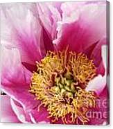 Pink Peony Flowers Series 8 Canvas Print
