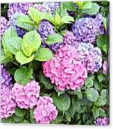 Pink Purple Hydrangeas Canvas Print