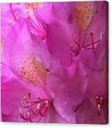 Pink Rhododendron Bloom  Canvas Print