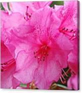 Pink Rhody Canvas Print