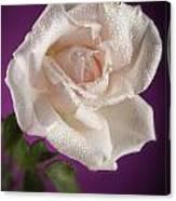 Pink Rose And Rain Drops Canvas Print