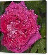 Pink Rose Wendy Cussons With Raindrops Canvas Print