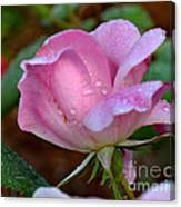 Pink Rose With Water Drops-33 Canvas Print