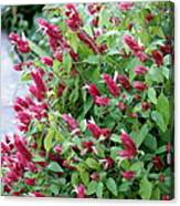 Pink Shrimp Plant Canvas Print