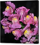 Pink Snapdragons 2 Canvas Print