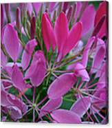 Pink Spider Flower Canvas Print