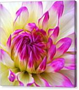 Pink Tinged Dahlia Canvas Print