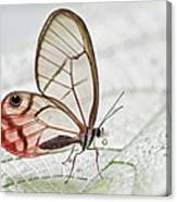 Pink-tipped Clearwing Satyr Cithaerias Canvas Print