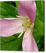 Pink Trillium Canvas Print