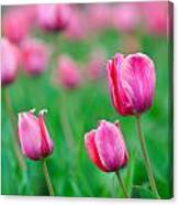 Pink Tulip Bed Canvas Print