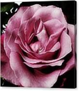 Pink Velour Canvas Print