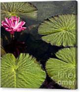 Pink Water Lily I Canvas Print