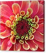 Pink Zinnia Macro Canvas Print