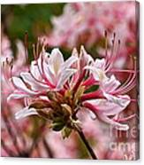 Pinxterflower Azalea Canvas Print