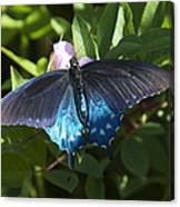 Pipevine Swallowtail Din003 Canvas Print