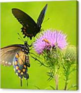 Pipevine Swallowtails In Tandem Canvas Print
