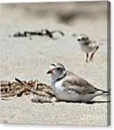 Piping Plover Mom And Two Babies Canvas Print