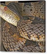Pit Viper Canvas Print