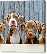 Pitbull Puppies Canvas Print