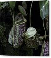 Pitcher Plant Inside The National Orchid Garden In Singapore Canvas Print